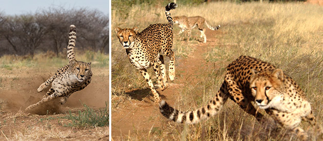 cheetah conservation fund namibia, world renowned rehabilitation centre for cheetahs otjiwarongo, namibia cheetah activities tours game drives and accommodation